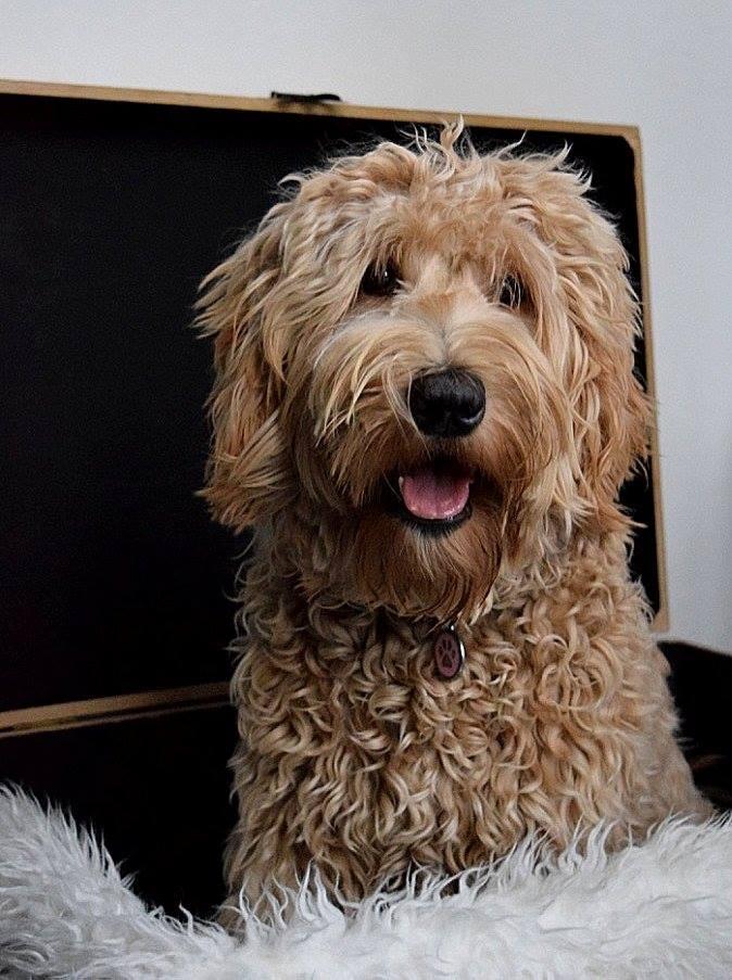 Australian Cobberdogs - Dog Sweet Dog
